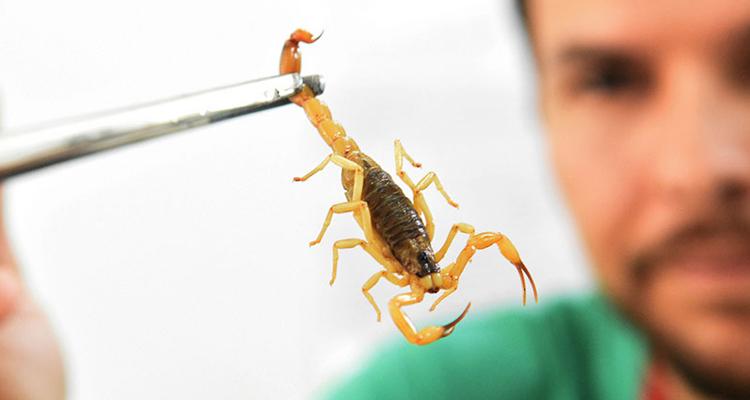 Picada de escorpião: saiba os cuidados e o que fazer em caso de acidente